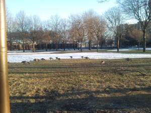 Canadian Snow Geese -- Rochdale Village