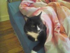 Sylvester aka Undercover Kitty
