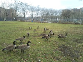 Canadian Geese at Rochdale Village, Jamaica, Queens, New York