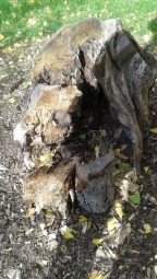 Dead yet Living Tree Trunk Stump