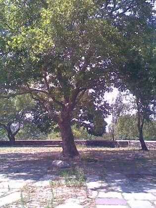 tree-of-life-helen