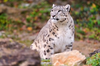 Djamila Snow Leopardess