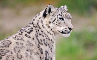 portrait_of_djamila_the_snow_leopardess-1280x800
