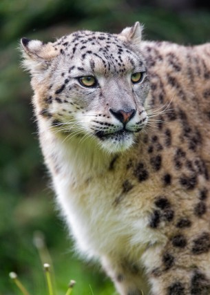 Snow Leopardess